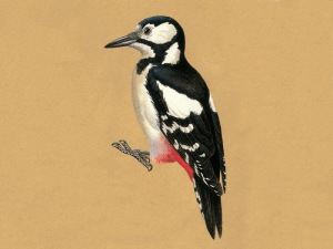 Great Spotted Woodpecker, courtesy of BWPi