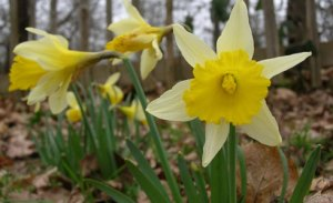 Wild Daffodil (Narcissus pseudonarcissus) courtesy of Natural History Museum - http://www.nhm.ac.uk/index.html