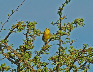 A Male Yellowhammer, courtesy of Finn Holding's (http://thenaturephile.com/) website
