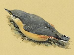 Juvenile Nuthatch (Sitta europaea)
