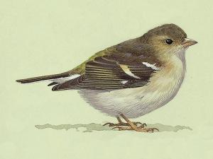 Juvenile Chaffinch (Fringilla coelebs)