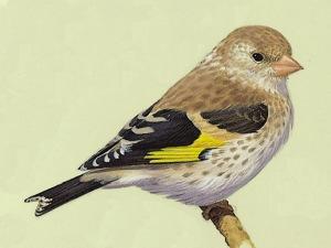 Juvenile Goldfinch (Carduelis carduelis)