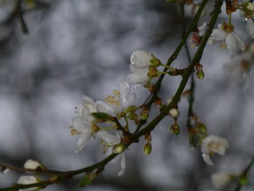 Blackthorn flowering
