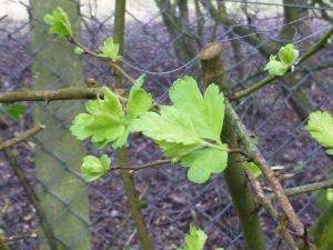 Hawthorn leafing