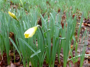 Wild Daffodil flowering