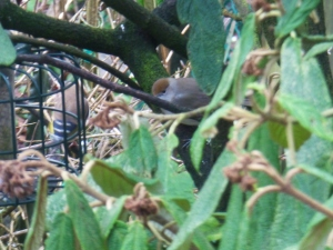 The not so rare, in fact annual sighting of wintering Blackcaps in our garden, a male has since joined her.