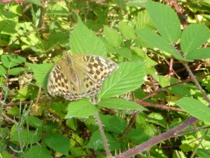 A Silver-washed Fritillary butterfly - the valesina subspecies.