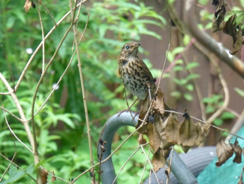 Song Thrush in the garden, sitting atop a wheelbarrow
